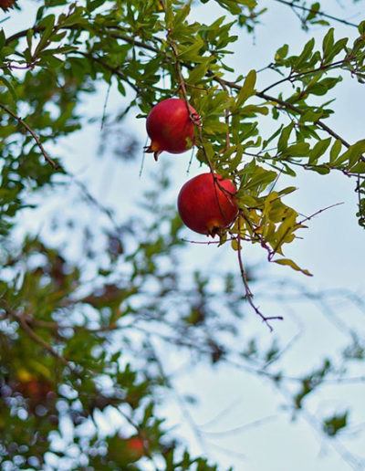 Gallery-Pomegranate-pic
